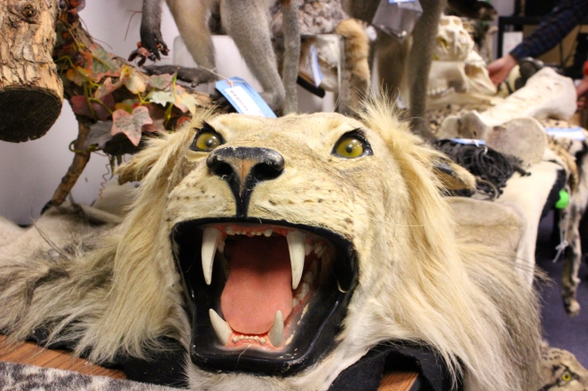 A rug made out of a lion at the Rocky Mountain Arsenal Wildlife Refuge repository in Colorado.